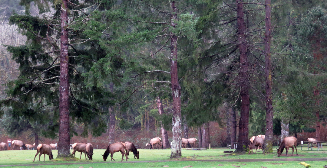 Elk in the park